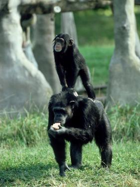 Chimpanzee, Baby Stands on Mothers Back, Zoo Animal by Stan Osolinski
