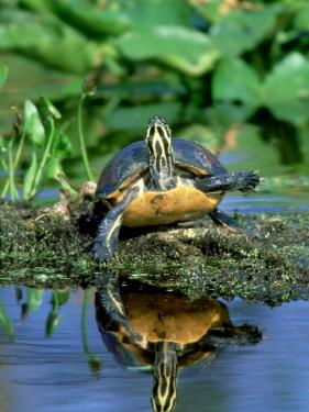 Florida Redbelly Turtle, Sunning, USA by Stan Osolinski