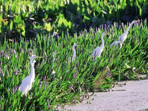 Great Egret, Hunting from Pickerelweed, USA by Stan Osolinski