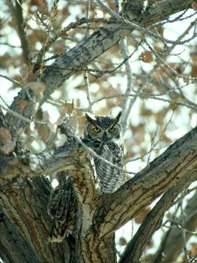 Great Horned Owl in Tree, NM by Stan Osolinski