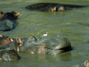 Hippopotamus, with Wagtail, Kenya by Stan Osolinski