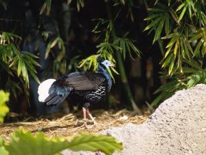 Malayan Crested Fireback Pheasant, Male in Clearing, Zoo Animal by Stan Osolinski
