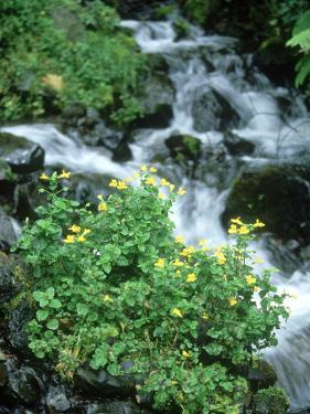 Mountain Monkey Flower, Oregon, USA by Stan Osolinski