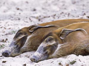 Red River Hog, Resting Pair, Zoo Animal by Stan Osolinski