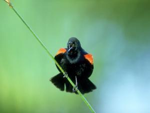 Red-Winged Blackbird, Male Displaying, USA by Stan Osolinski