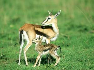 Thomsons Gazelle, with Baby, Kenya by Stan Osolinski