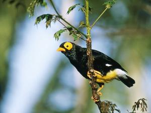 Yellow-Faced Mynah, Zoo Animal by Stan Osolinski