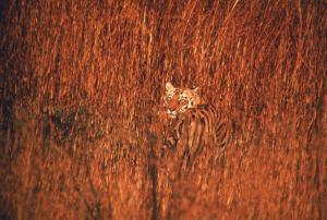 Tiger, Camouflaged Amid Tall, Golden Grass, Setting Out at Dusk For Night of Hunting by Stan Wayman