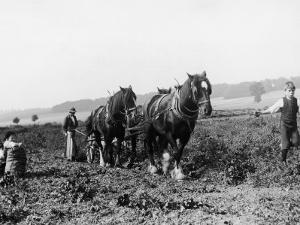 Potato Lifting Using Horses and Plough Near Rickmansworth Hertfordshire by Staniland Pugh