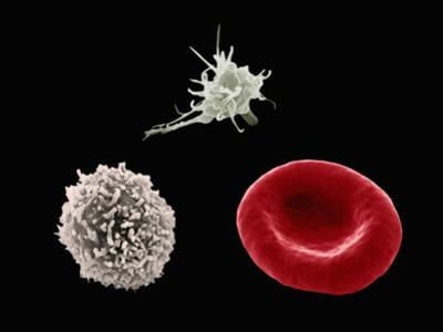 Comparison of Human Red Blood Cell, Erythrocyte, a White Blood Cell, Leukocyte by Stanley Flegler