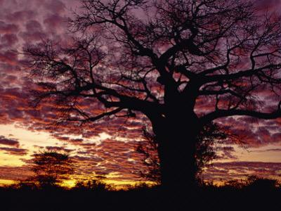 Baobab Tree Silhouetted by Spectacular Sunrise, Kenya, East Africa, Africa