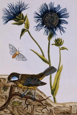 18th Century French Print of Cornflower by Stapleton Collection