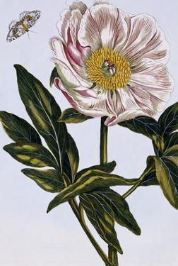 18th Century French Print of Flesh-coloured Common Peony by Stapleton Collection