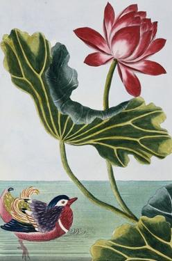 18th Century French Print of Red Water Lily of China II. by Stapleton Collection
