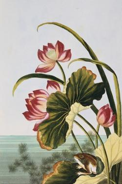18th Century French Print of Red Water Lily of China by Stapleton Collection