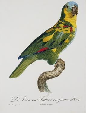 Print of an Amazon Parrot by Jacques Barraband by Stapleton Collection