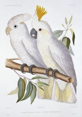 Print of Two Cockatoos by A. Dumenil by Stapleton Collection