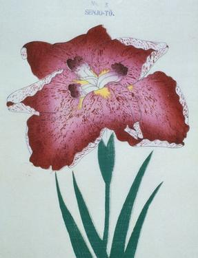 Senjo-To Book of a Red Iris by Stapleton Collection