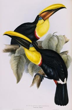 Toucan Lithograph From Gould Book of Toucans by Stapleton Collection