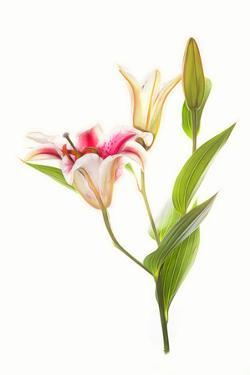 Stargazer lily flowers against white background