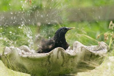Starling Bathing in Birdbath