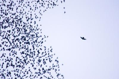 Starling Flock and Peregrine Falcon