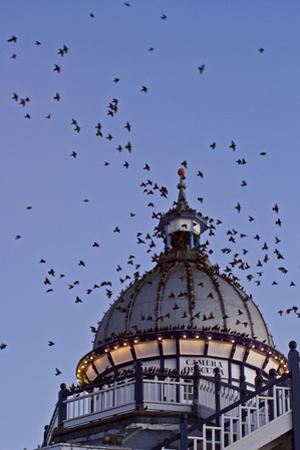 Starlings Coming in to Roost in a Victorian Camera
