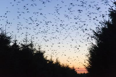 Starlings Going to Roost
