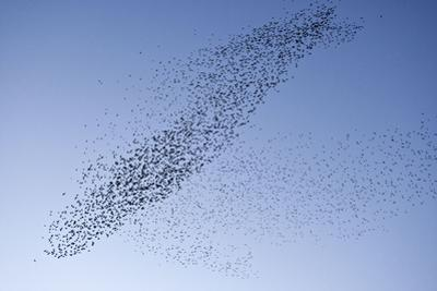 Starlings Mass Manouver in the Skys Above the Roosting Site