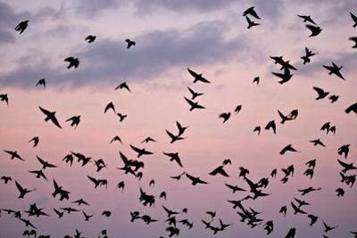 Starlings Mass of Birds in Flight