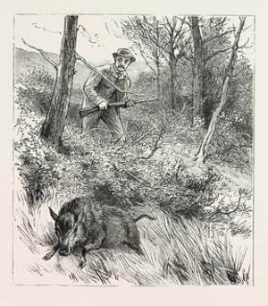 Starts a Pig While Looking for Woodcock, 1884