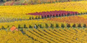 Vineyard Kappelberg, Herbst, Baden-Wurttemberg, Germany, Europe by Stefan Schurr