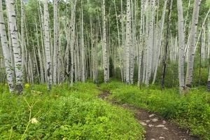 Hiking in the Aspen Trees Forest on the Trail to the American Lake. by Stefano Amantini