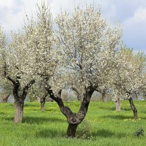 Spain, Balearic Islands, Island Majorca, Almond-Trees, Blooming by Steffen Beuthan