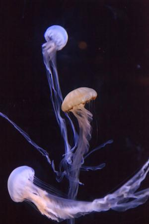 Atlantic Sea Nettle Jellyfish, Chrysaora Quinquecirrha by steffstarr