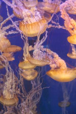 Pacific Sea Nettle Jellyfish, Chrysaora Fuscescens by steffstarr