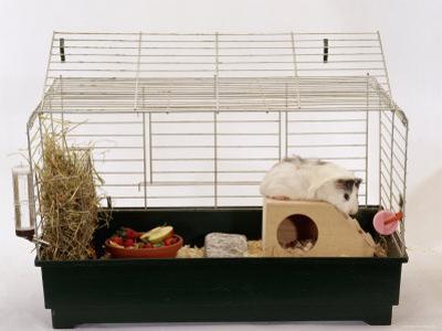 Abyssinian Guinea Pig in Cage