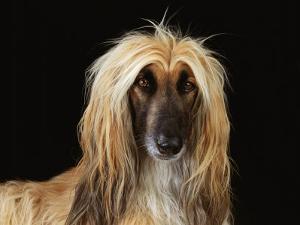 Afghan Hound Dog by Steimer