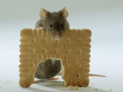 Domestic Mouse Eating Biscuit