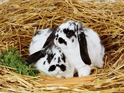 Lop-Eared Rabbits