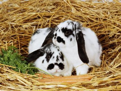 Lop-Eared Rabbits