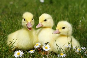 Three Domestic Ducklings, Germany by Steimer