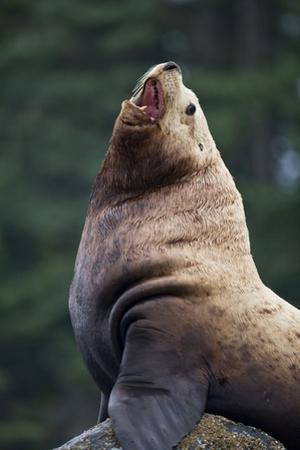 Steller Sea Lion Bull in Alaska