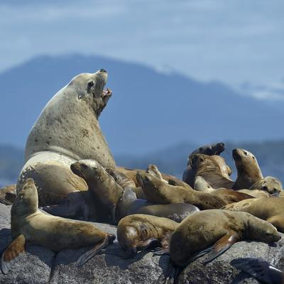 https://imgc.allpostersimages.com/img/posters/steller-sea-lion-eumetopias-jubatus-male-and-female-with-colony-british-columbia-canada-june_u-L-Q13AA7S0.jpg?p=0