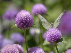 A Butterfly Alighted on a Thistle by Stephanie Lane