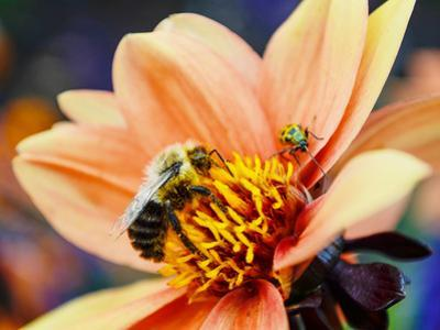 Bee and Beetle together in Michigan by Stephanie Maatta Smith