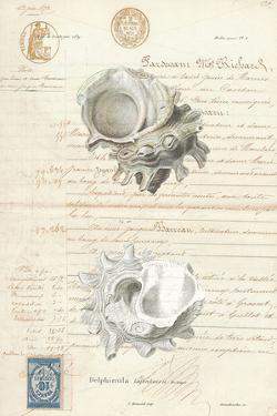 Conchology Sketch II by Stephanie Monahan