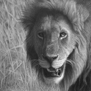 Lion in the Massai Mara by Stephen Ainsworth