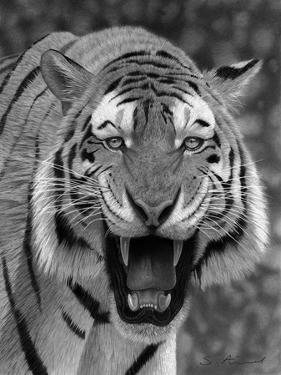 Tiger Growling by Stephen Ainsworth