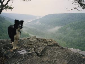 A Border Collie Stands on the Bluff at Ravens Point, Tennessee by Stephen Alvarez